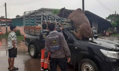 Thunder Scares Cow Into Pickup Truck In Udon Thani